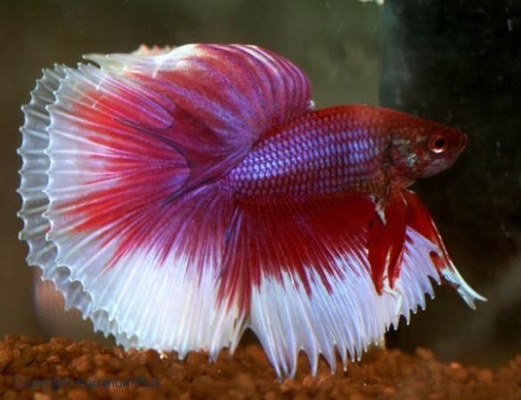 tropische vissen azië